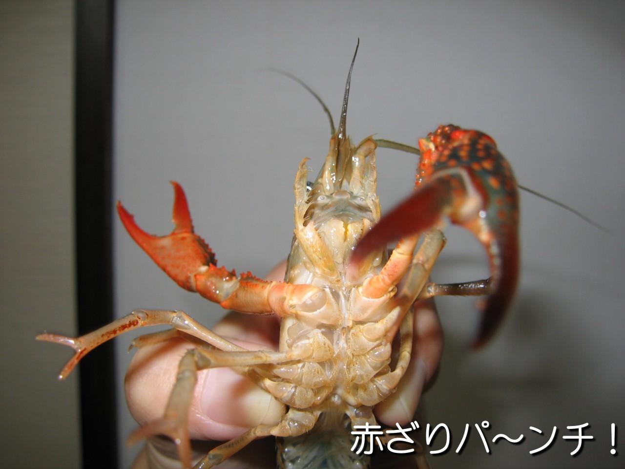 赤ざりパ〜ンチ
