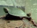 ミドリガメ�
