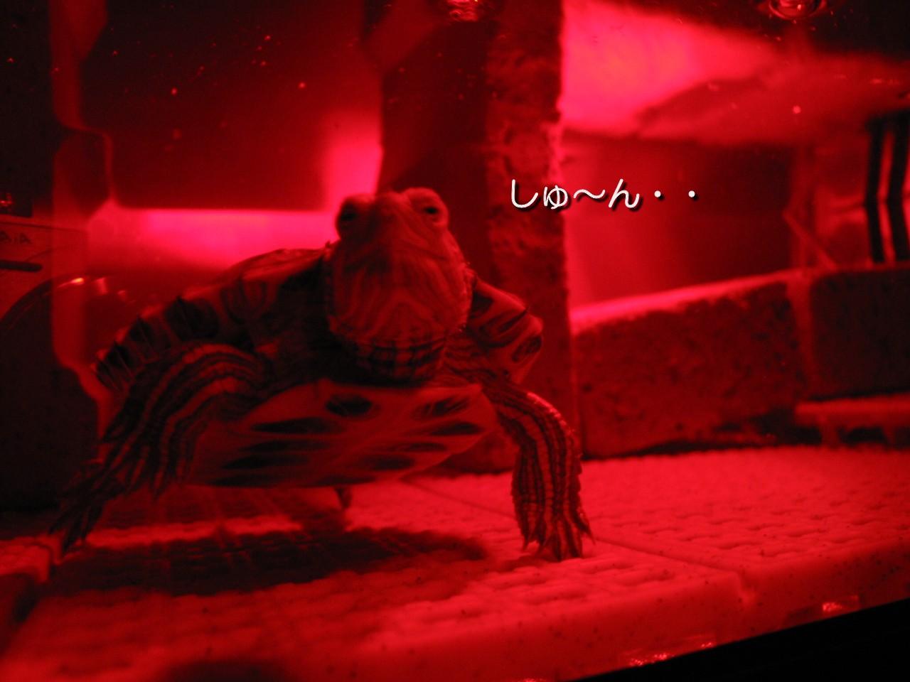 しょげる亀