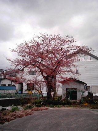 桜4・12