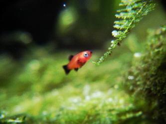 稚魚ってハニー
